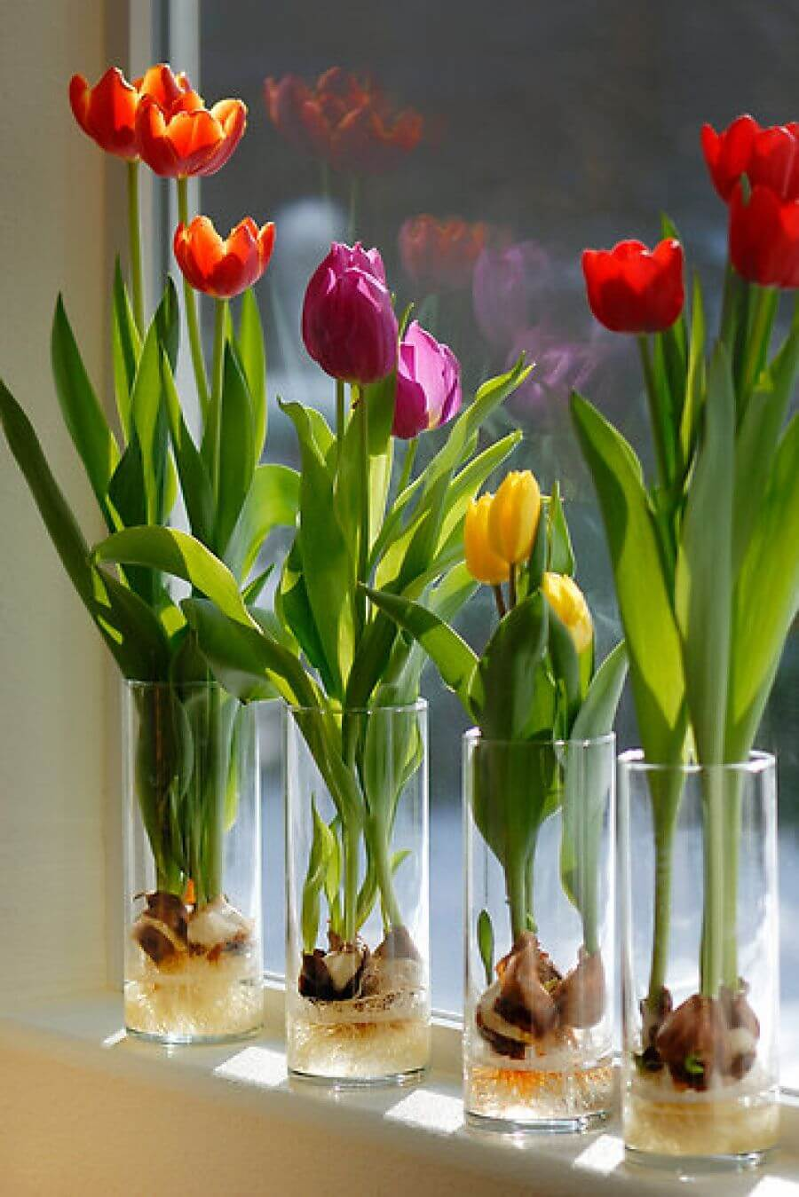 Window Sill Forced Bulbs in Tall Tumblers