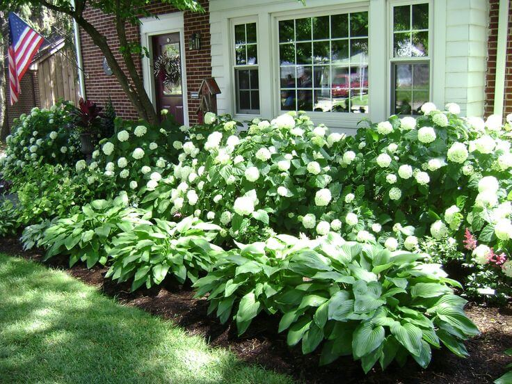 Lush Hydrangeas and Hostas