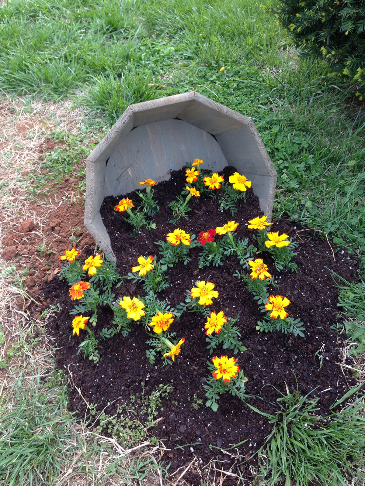 20 Marigolds Popping Out Of Their Planter