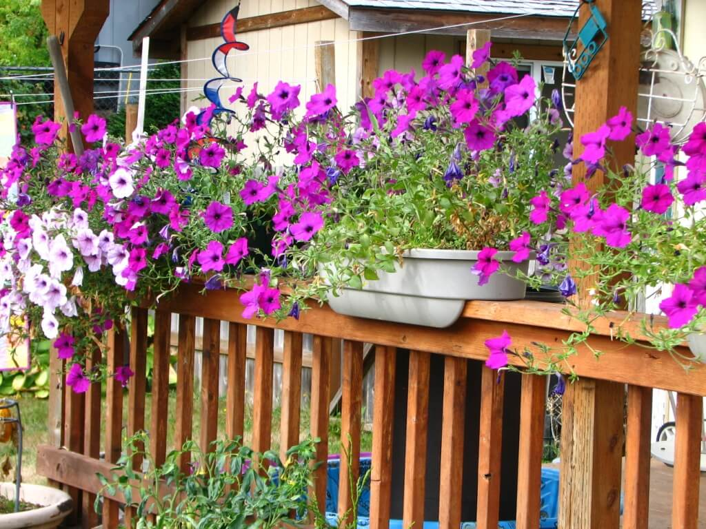 Petunias Overflowing from Railing Planters
