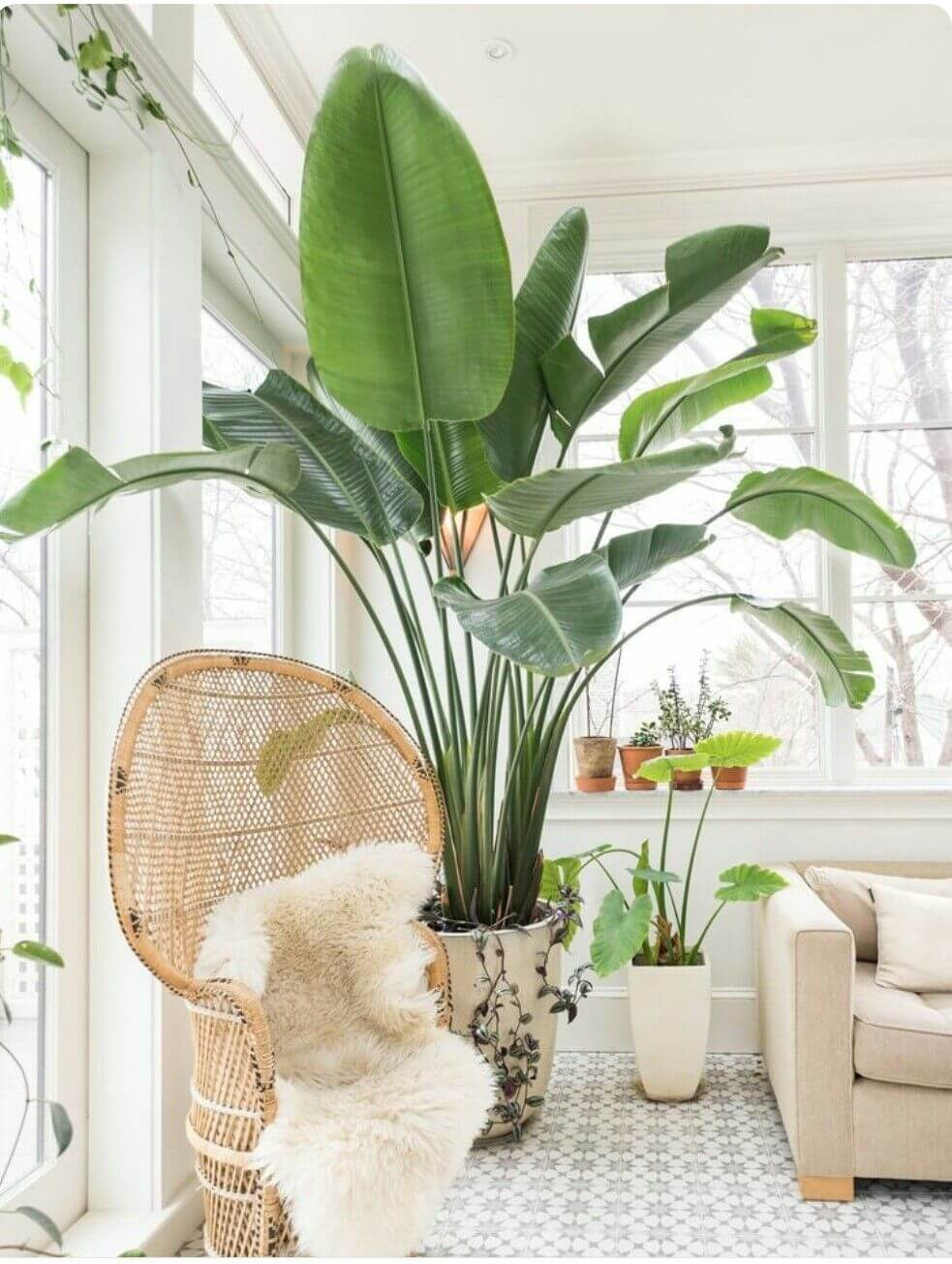 Tall Banana Leaves in a White Living Room