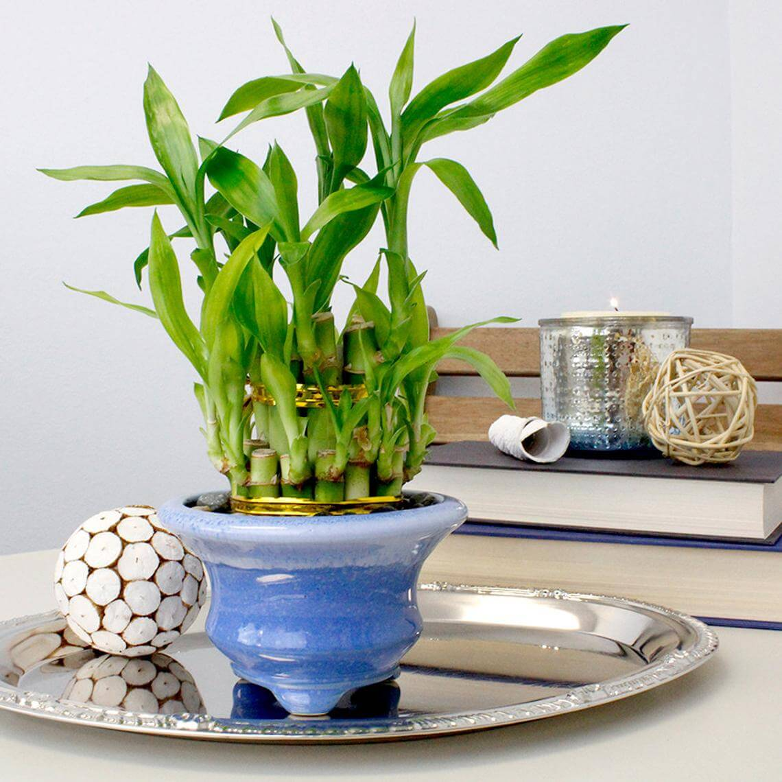 Vibrant and Living Green Bamboo Houseplant