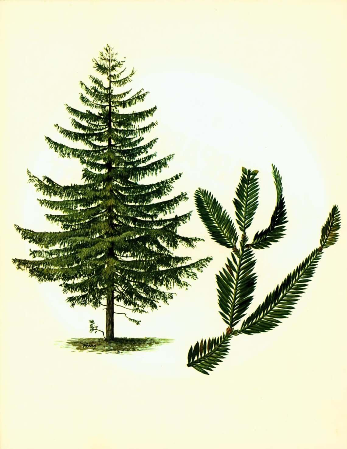1967 French Botanical Drawing of a Sequoia