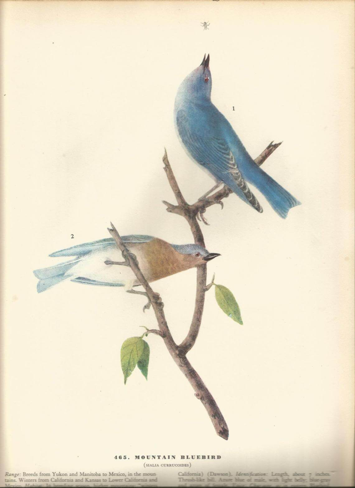 Two-Sided Bluebird James Audubon Bookplate