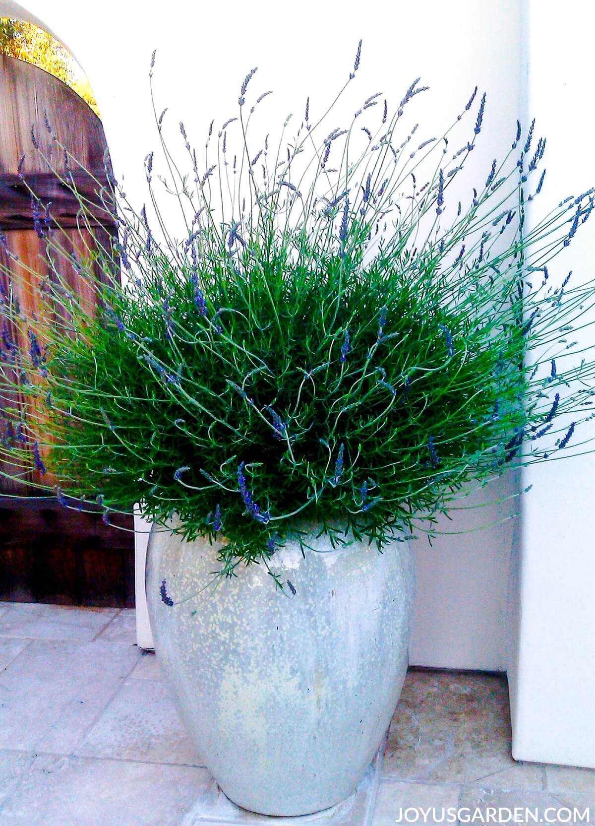 Lavender in an Iridescent Planter