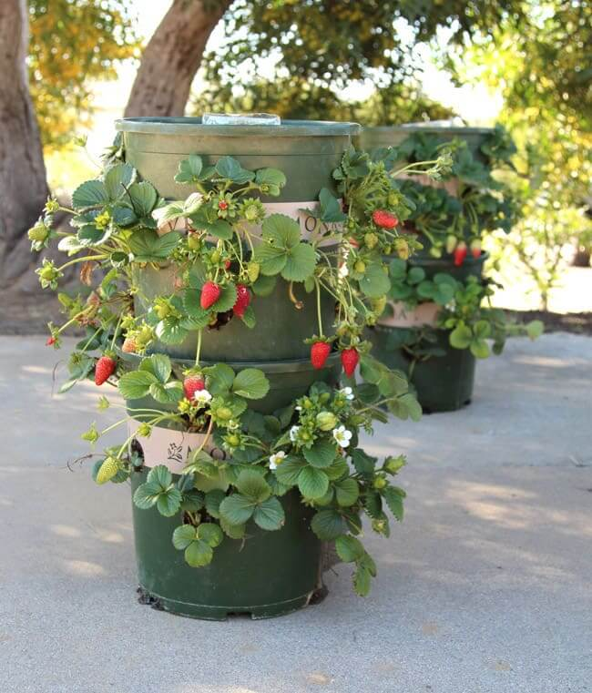 Strawberry Tower from Nursery Buckets